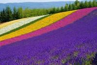 Lavender bloom hill Stock photo [3540054] Lavender