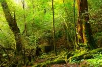 Shiratani Unsuikyo Mossy forest Stock photo [3540821] Yakushima