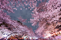Cherry blossoms of Ueno Park Stock photo [3761187] Full