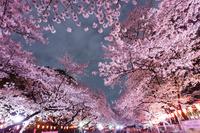 Cherry blossoms of Ueno Park Stock photo [3761187] Full