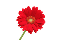 Red gerbera Stock photo [3761493] Gerbera