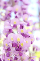 Wisteria Stock photo [3761743] Wisteria