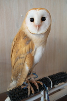 Barn owl Stock photo [3761827] Menfukuro