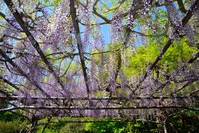 Wisteria trellis Stock photo [3762168] Flower