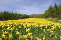Clumps of daffodils Stock photo [3762396] Narcissus