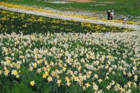 Narcissus flower garden Stock photo [3768649] Flower