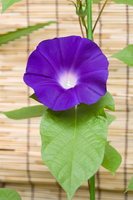 Morning glory purple Stock photo [3772350] Morning