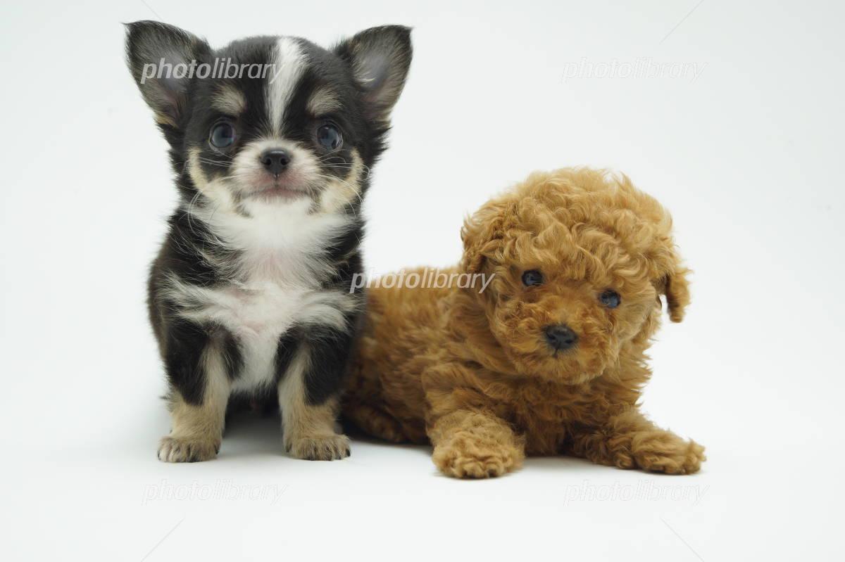 チワワとトイプードルの子犬 写真素材 [ 3875512 ] , フォト