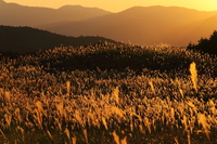 Pampas grass that shines in Soni plateau sunset Stock photo [3873050] Soni