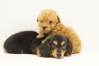 Toy Poodle and Dachshund Stock photo [3875526] Poodle