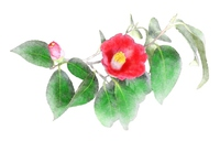 Camellia [3879222] Camellia