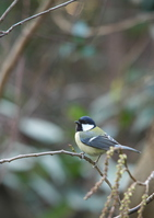 Great tit Stock photo [3879571] Chickadee