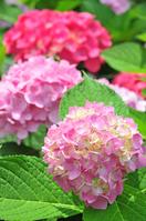 Hydrangea garden Stock photo [3885792] Hydrangea