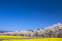Daffodils and cherry trees Stock photo [4131785] Natural