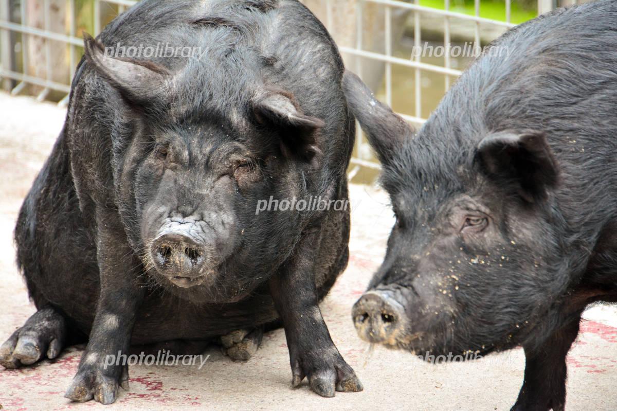 Agu pig Photo