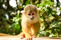 Squirrel monkey Stock photo [4217729] Squirrel