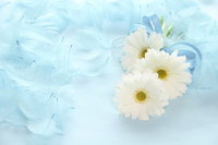 Light blue feathers and white Gerbera corsage Stock photo [4220784] Gerbera