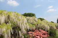 Shirafuji Stock photo [4220929] Wisteria