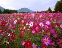 Ikoma plateau of the cosmos Stock photo [4269815] Miyazaki