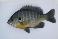 Bluegill Stock photo [4271695] Bluegill
