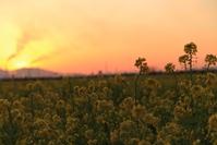 菜の花畑と夕焼け