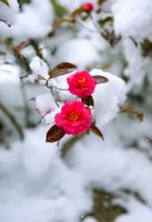 Kantsubaki Stock photo [4278233] flower
