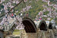 満開の錦帯橋