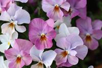 Pink viola Stock photo [4356840] viola