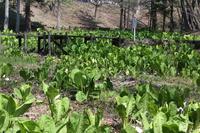Mine Park skunk cabbage is gregarious Stock photo [4360833] Skunk