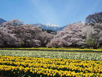 Daffodils and cherry blossoms and the Southern Alps Stock photo [4361288] narcissus