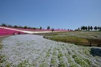Hachioji Mountain park nemophila and phlox Stock photo [4363079] Hachioji