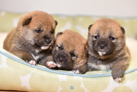 Puppy Shiba Inu Stock photo [4363483] Brother