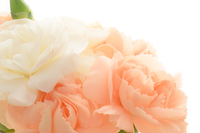Coral pink and white carnation 2 Stock photo [4364127] Mother's