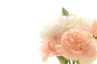 Coral pink and white carnation 1 Stock photo [4364128] Mother's