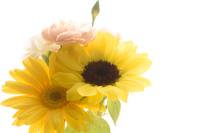 Arrangement of carnations and gerbera and sunflower Stock photo [4364130] Carnation