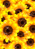 Summery background of a beautiful sunflower ID:4441228