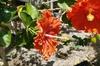 Hibiscus (Fiesta) flower ID:4441540