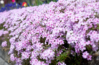 Moss phlox Stock photo [4519690] Ground