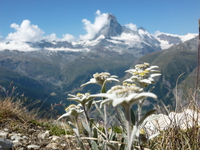 Edelweiss and Matterhorn Stock photo [4526335] hiking