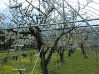 Cherries in full bloom Stock photo [4527903] Akita