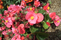 Begonia Sen Pa Florence Stock photo [4528711] Begonia