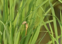 Emergence the dragonfly and the husk of paddy Stock photo [4593116] Paddy