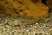 Spiny goby Stock photo [4595412] fish