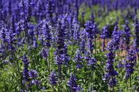 Salvia Farina Sayre Stock photo [4597457] Salvia