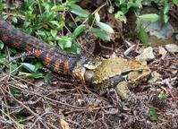 Tiger keelback swallow Azuma toad Stock photo [4659964] snake