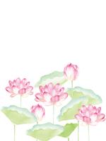 Water lily [4664112] Lotus