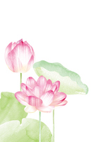 Water lily [4664113] Lotus