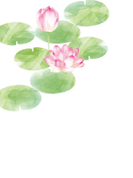 Water lily [4664114] Lotus