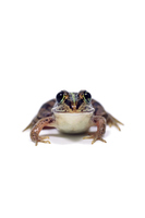 Daruma pond frog Stock photo [4912803] animal