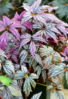 Foliage begonia Stock photo [4913722] Garden